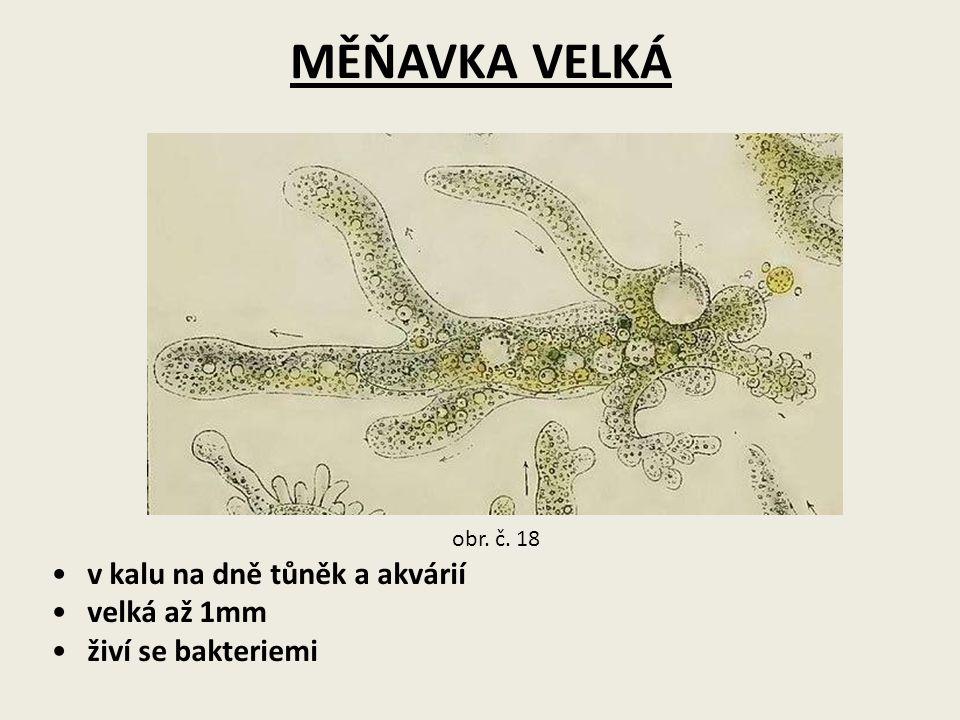 MĚŇAVKA VELKÁ v kalu na dně tůněk a akvárií velká až 1mm živí se bakteriemi obr. č. 18