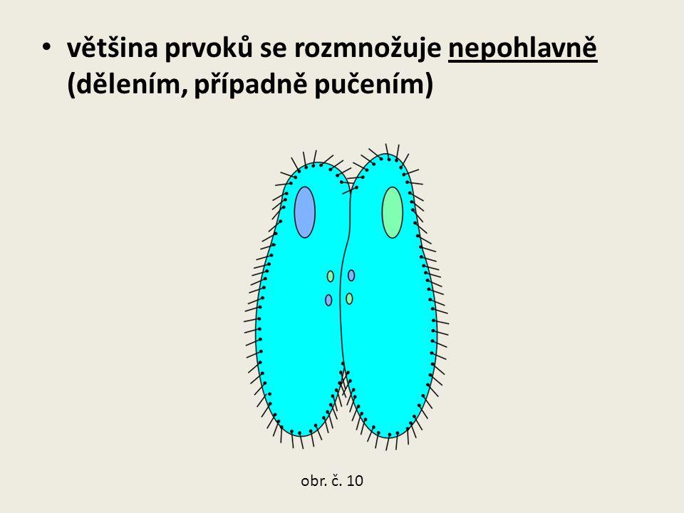 většina prvoků se rozmnožuje nepohlavně (dělením, případně pučením) obr. č. 10