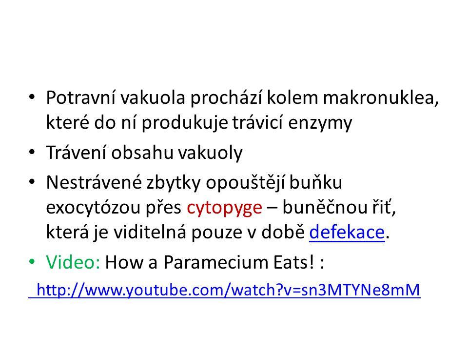 Potravní vakuola prochází kolem makronuklea, které do ní produkuje trávicí enzymy Trávení obsahu vakuoly Nestrávené zbytky opouštějí buňku exocytózou přes cytopyge – buněčnou řiť, která je viditelná pouze v době defekace.defekace Video: How a Paramecium Eats.