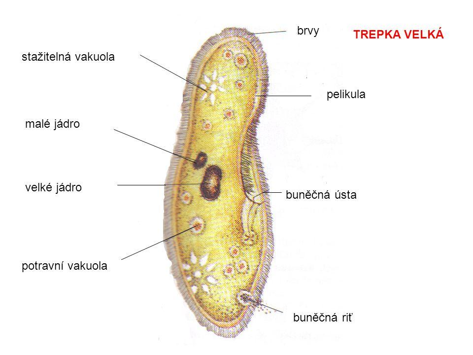 brvy buněčná ústa buněčná riť potravní vakuola velké jádro malé jádro stažitelná vakuola TREPKA VELKÁ pelikula