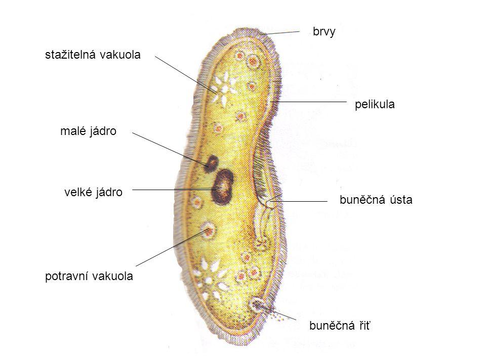 brvy buněčná ústa buněčná řiť potravní vakuola stažitelná vakuola velké jádro malé jádro