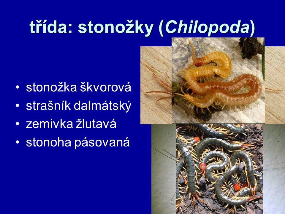 třída: stonožky (Chilopoda) stonožka škvorová strašník dalmátský zemivka žlutavá stonoha pásovaná
