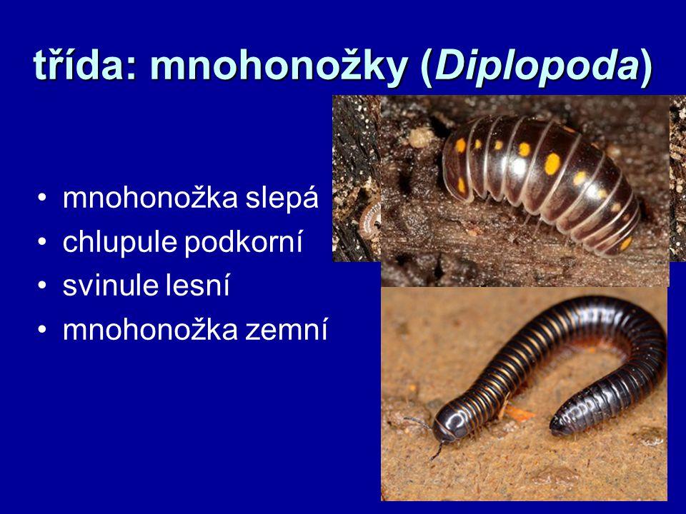 třída: mnohonožky (Diplopoda) mnohonožka slepá chlupule podkorní svinule lesní mnohonožka zemní