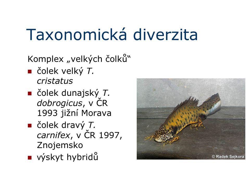 """Taxonomická diverzita Komplex """"velkých čolků čolek velký T."""