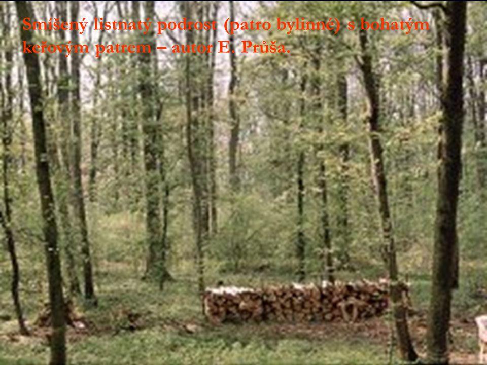 Smíšený listnatý podrost (patro bylinné) s bohatým keřovým patrem – autor E. Průša.