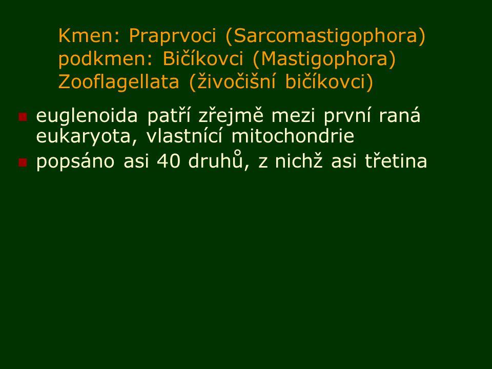 Kmen: Praprvoci (Sarcomastigophora) podkmen: Bičíkovci (Mastigophora) Zooflagellata (živočišní bičíkovci) euglenoida patří zřejmě mezi první raná eukaryota, vlastnící mitochondrie popsáno asi 40 druhů, z nichž asi třetina