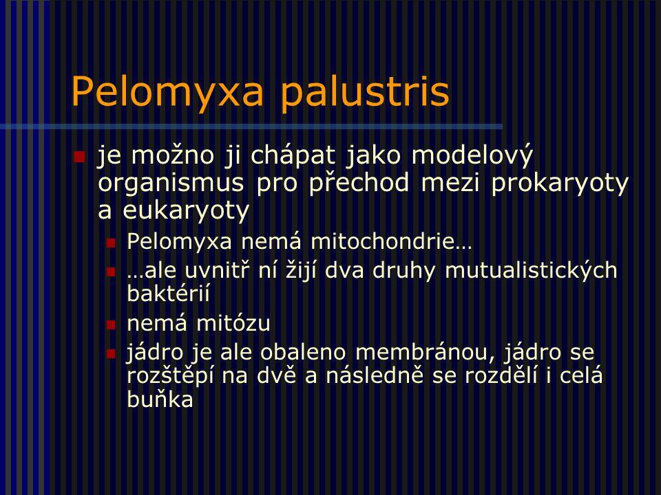 Pelomyxa palustris je možno ji chápat jako modelový organismus pro přechod mezi prokaryoty a eukaryoty Pelomyxa nemá mitochondrie… …ale uvnitř ní žijí dva druhy mutualistických baktérií nemá mitózu jádro je ale obaleno membránou, jádro se rozštěpí na dvě a následně se rozdělí i celá buňka