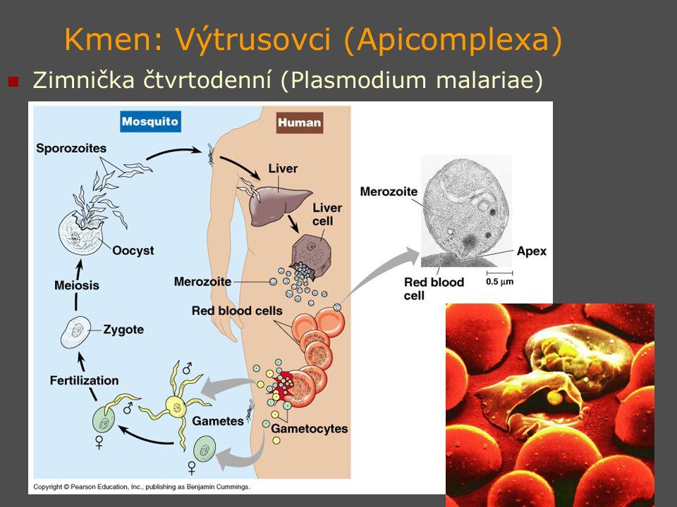 Kmen: Výtrusovci (Apicomplexa) Zimnička čtvrtodenní (Plasmodium malariae)
