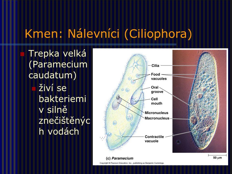 Kmen: Nálevníci (Ciliophora) Trepka velká (Paramecium caudatum) živí se bakteriemi v silně znečištěnýc h vodách