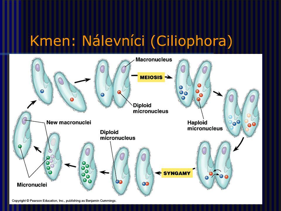 Kmen: Nálevníci (Ciliophora)