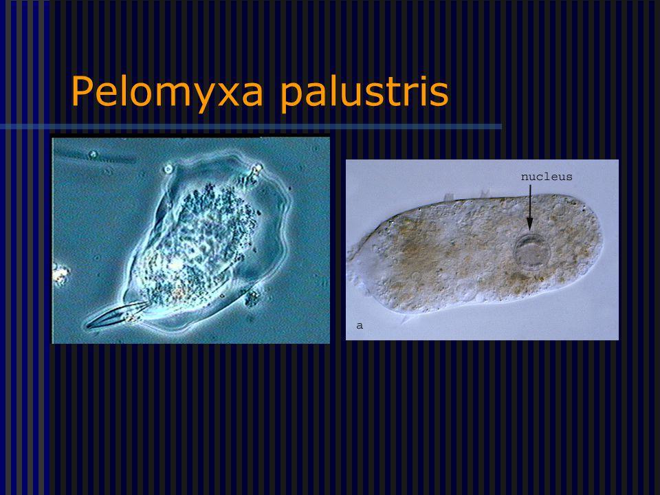 Pelomyxa palustris