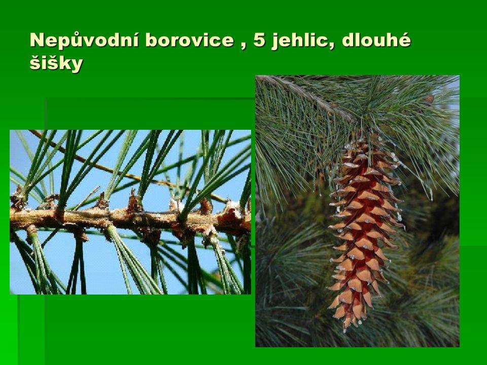 Nepůvodní borovice, 5 jehlic, dlouhé šišky