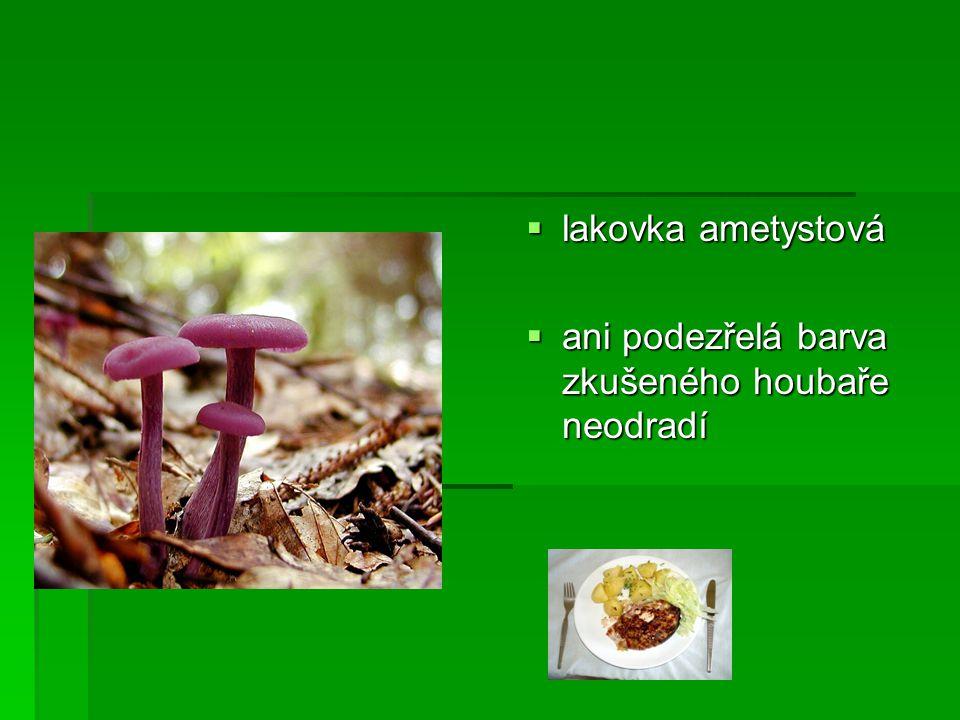  lakovka ametystová  ani podezřelá barva zkušeného houbaře neodradí