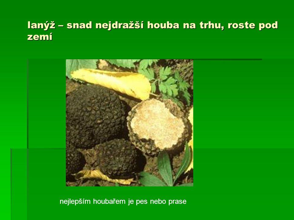 lanýž – snad nejdražší houba na trhu, roste pod zemí nejlepším houbařem je pes nebo prase