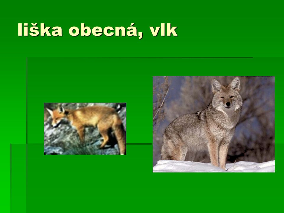 liška obecná, vlk