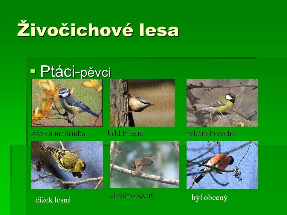 Živočichové lesa  Ptáci- pěvci čížek lesní hýl obecný