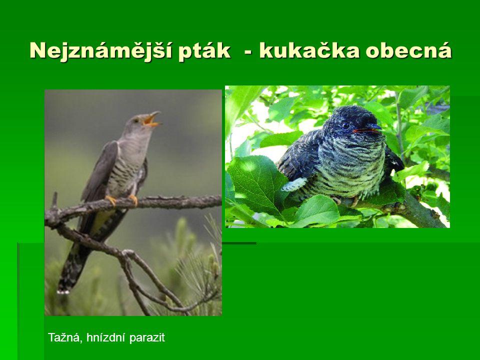 Nejznámější pták - kukačka obecná Tažná, hnízdní parazit