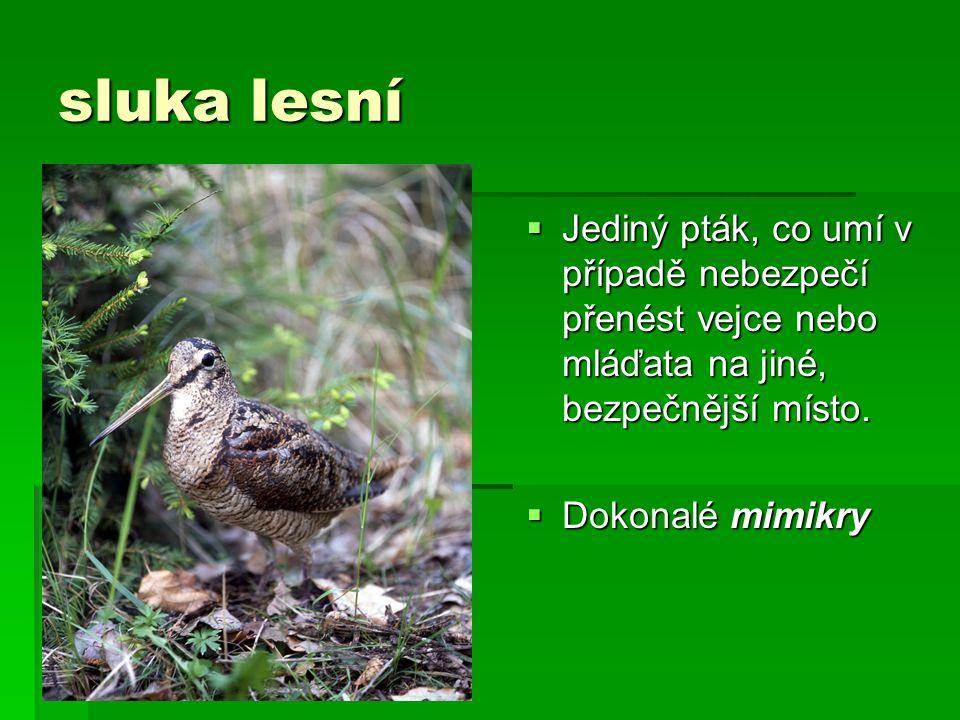 sluka lesní  Jediný pták, co umí v případě nebezpečí přenést vejce nebo mláďata na jiné, bezpečnější místo.