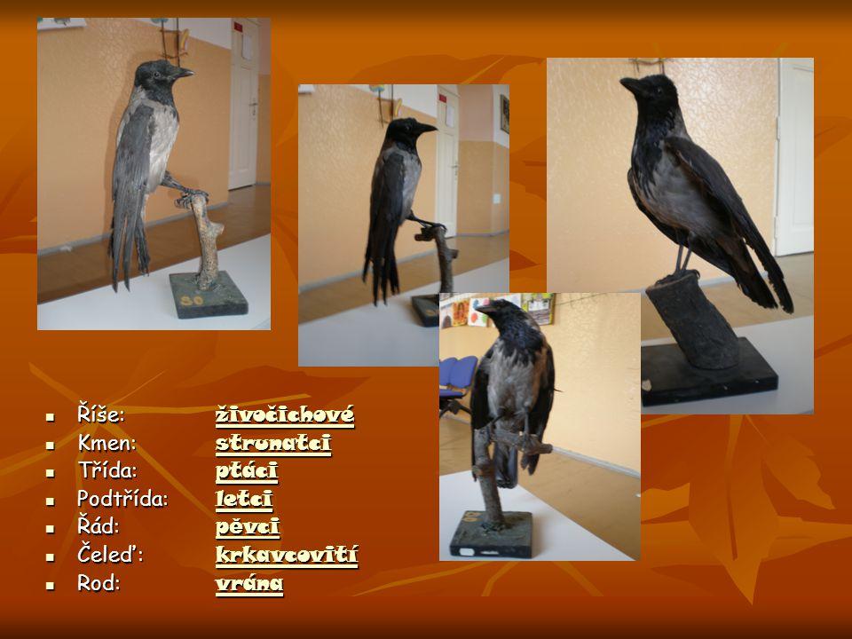 Vrána obecná  velikost : 45 - 50 cm  váha : 600 - 700 g  výška : 45 - 50 cm  rozpětí křídel : 90 - 100 cm  počet snášených mláďat : 4-6 ročně  h