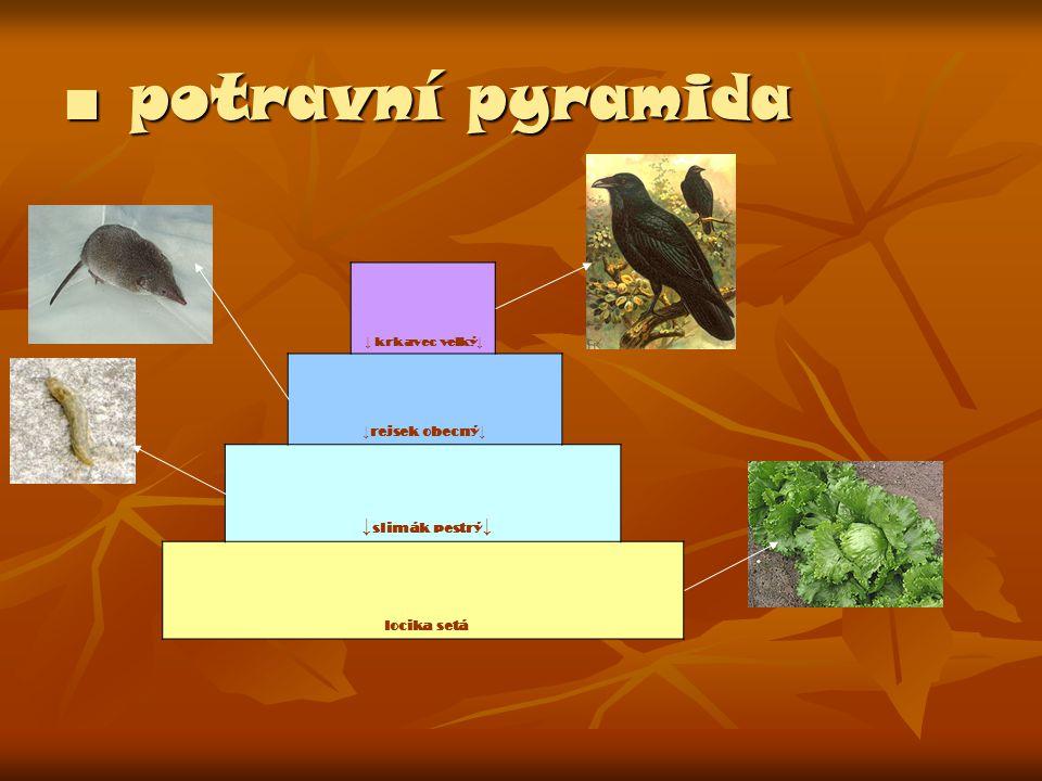 ■ potravní pyramida ↓ krkavec velký ↓ ↓ rejsek obecný ↓ ↓ slimák pestrý ↓ locika setá