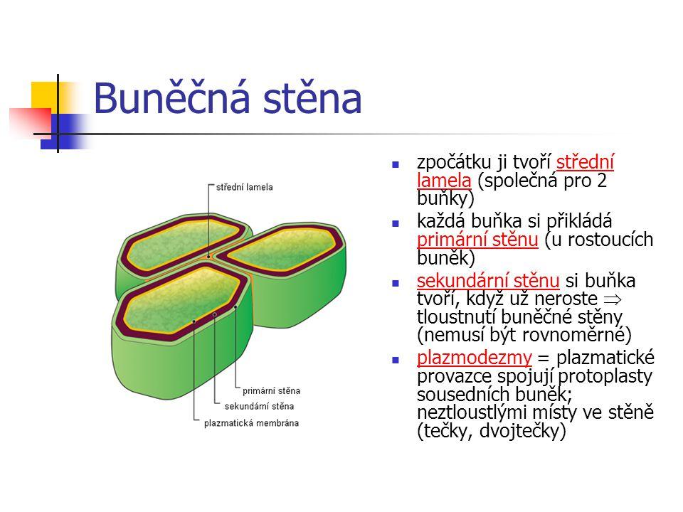 Buněčná stěna zpočátku ji tvoří střední lamela (společná pro 2 buňky) každá buňka si přikládá primární stěnu (u rostoucích buněk) sekundární stěnu si