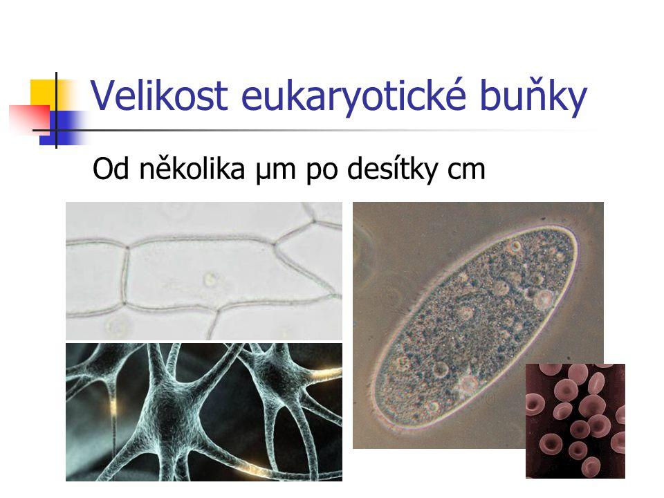 Velikost eukaryotické buňky Od několika μm po desítky cm