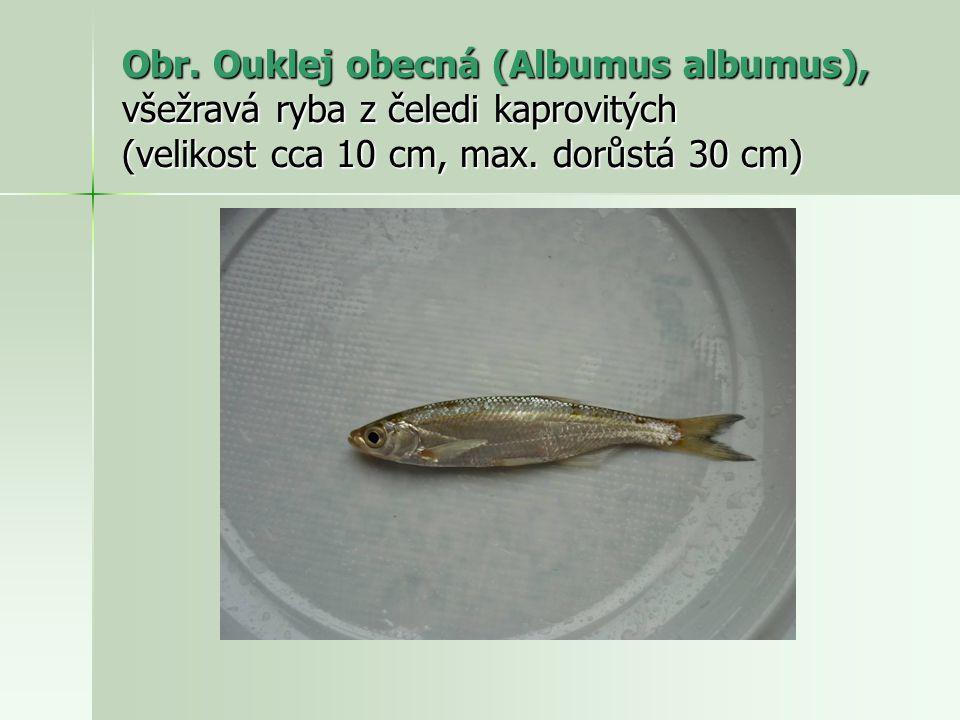 Obr. Ouklej obecná (Albumus albumus), všežravá ryba z čeledi kaprovitých (velikost cca 10 cm, max. dorůstá 30 cm)