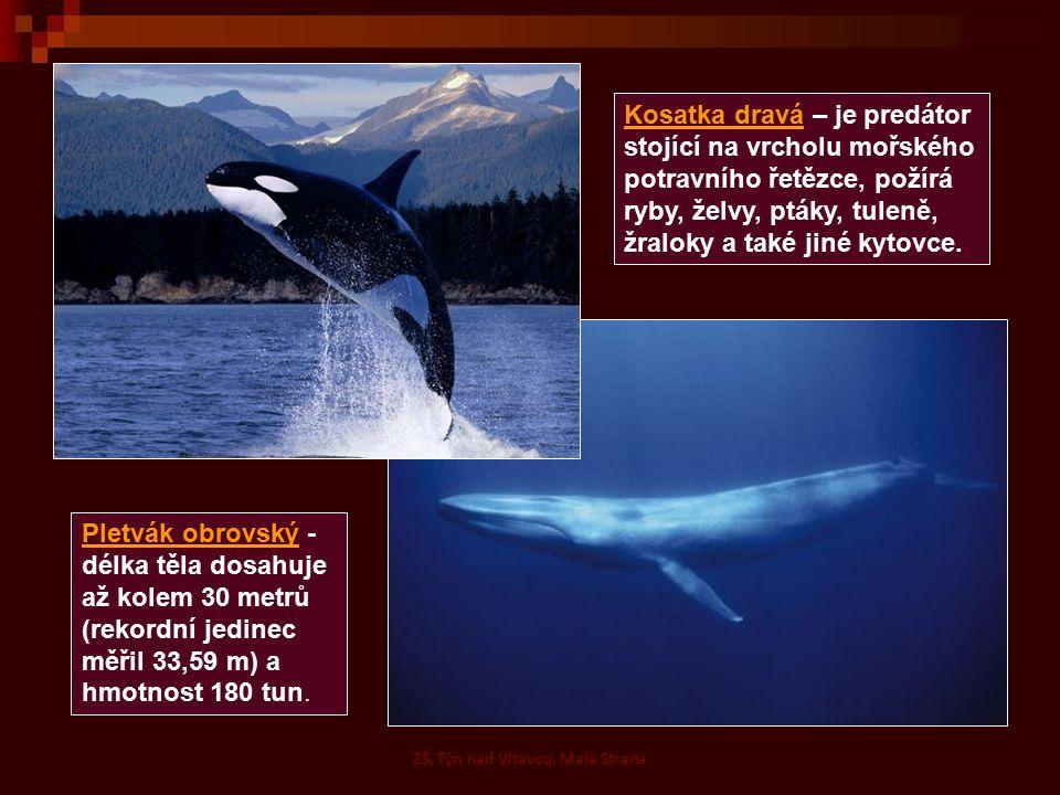 ZŠ, Týn nad Vltavou, Malá Strana Pletvák obrovský - délka těla dosahuje až kolem 30 metrů (rekordní jedinec měřil 33,59 m) a hmotnost 180 tun.