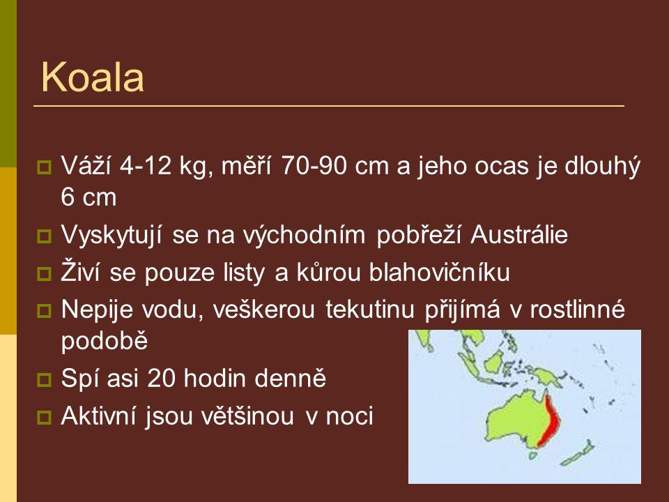 Koala  Váží 4-12 kg, měří 70-90 cm a jeho ocas je dlouhý 6 cm  Vyskytují se na východním pobřeží Austrálie  Živí se pouze listy a kůrou blahovičník