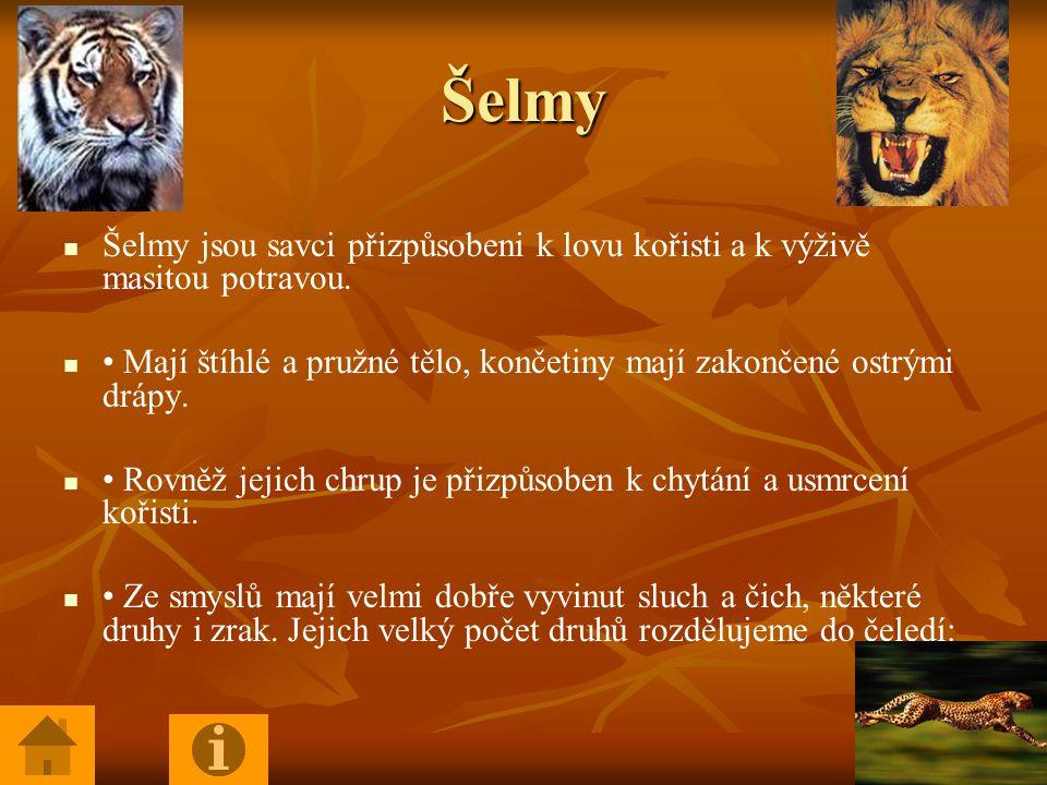 Šelmy Šelmy jsou savci přizpůsobeni k lovu kořisti a k výživě masitou potravou.