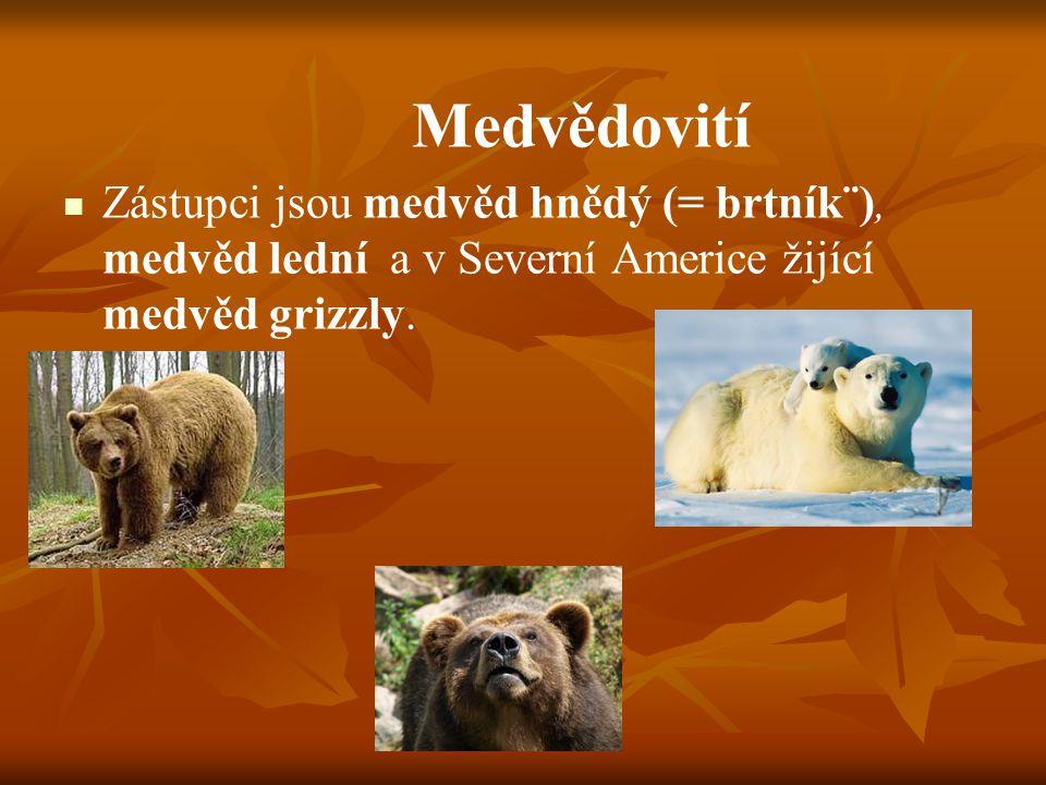 Medvědovití Zástupci jsou medvěd hnědý (= brtník¨), medvěd lední a v Severní Americe žijící medvěd grizzly.