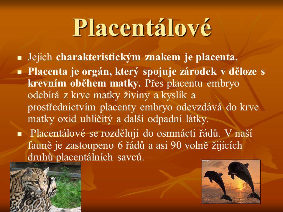 Placentálové Jejich charakteristickým znakem je placenta.