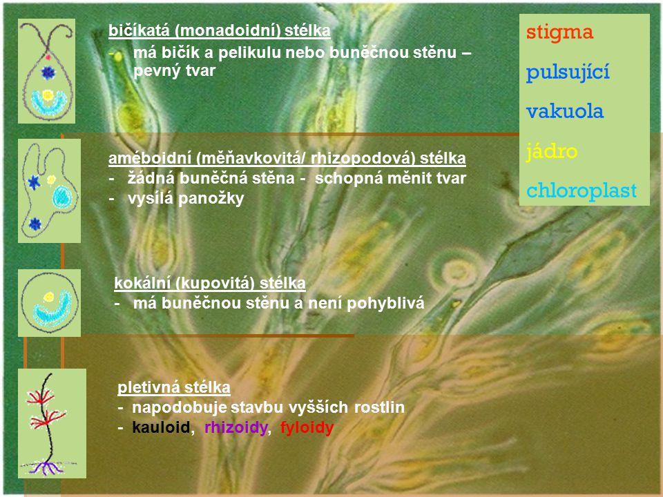 bičíkatá (monadoidní) stélka - -má bičík a pelikulu nebo buněčnou stěnu – pevný tvar stigma pulsující vakuola jádro chloroplast améboidní (měňavkovitá
