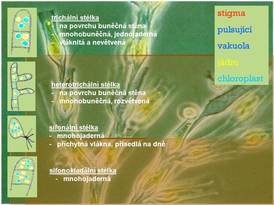 stigma pulsující vakuola jádro chloroplast heterotrichální stélka - na povrchu buněčná stěna - mnohobuněčná, rozvětvená sifonální stélka - mnohojadern