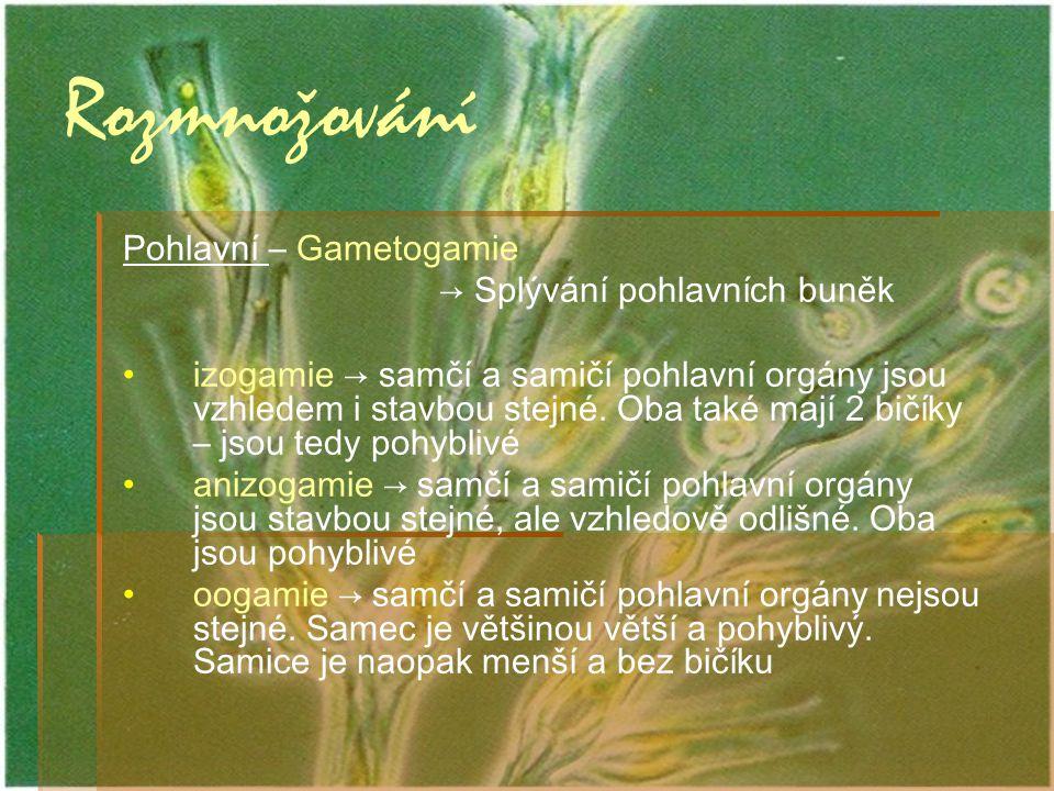 Rozmnožování Pohlavní – Gametogamie → Splývání pohlavních buněk izogamie → samčí a samičí pohlavní orgány jsou vzhledem i stavbou stejné. Oba také maj