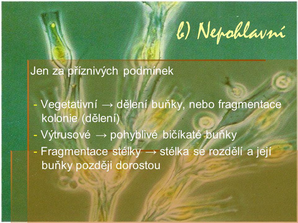 b) Nepohlavní Jen za příznivých podmínek - Vegetativní → dělení buňky, nebo fragmentace kolonie (dělení) - Výtrusové → pohyblivé bičíkaté buňky - Frag
