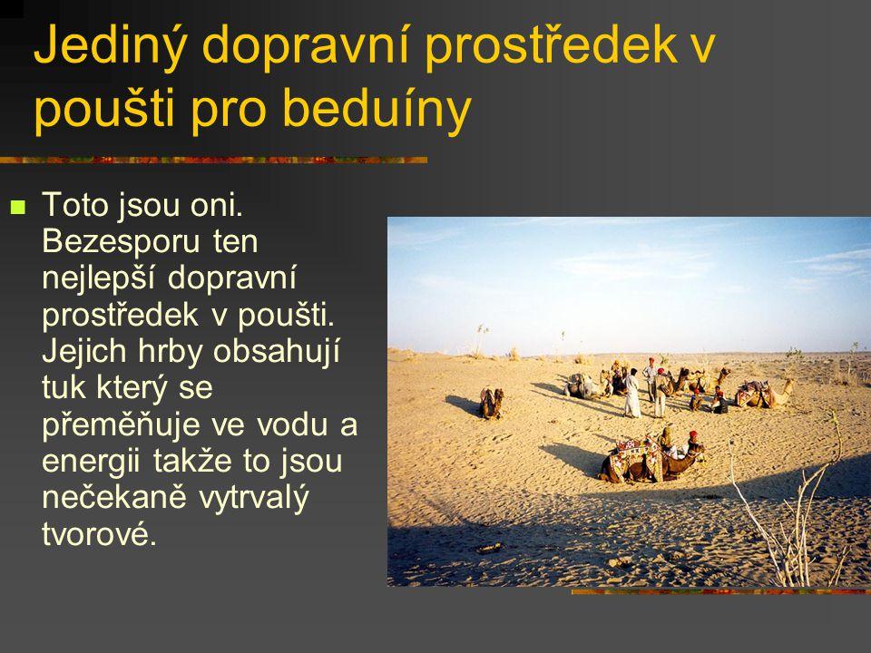 Jediný dopravní prostředek v poušti pro beduíny Toto jsou oni. Bezesporu ten nejlepší dopravní prostředek v poušti. Jejich hrby obsahují tuk který se