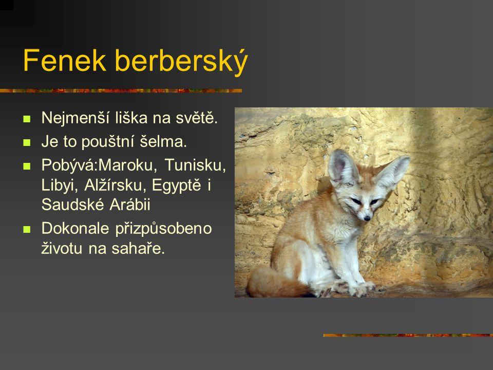 Fenek berberský Nejmenší liška na světě. Je to pouštní šelma. Pobývá:Maroku, Tunisku, Libyi, Alžírsku, Egyptě i Saudské Arábii Dokonale přizpůsobeno ž