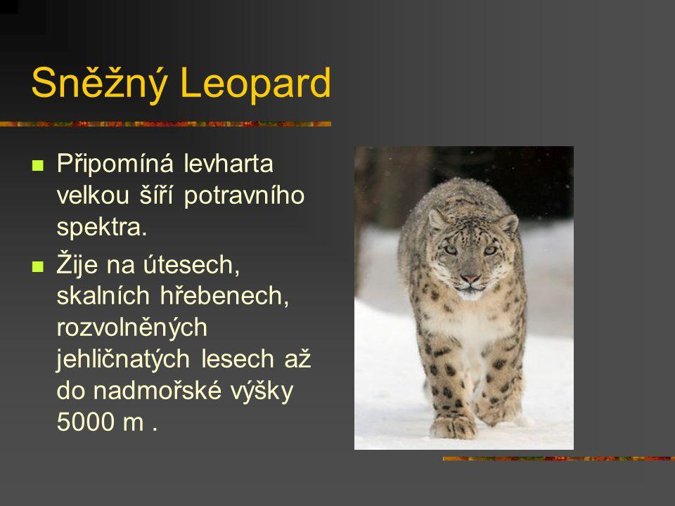 Sněžný Leopard Připomíná levharta velkou šíří potravního spektra. Žije na útesech, skalních hřebenech, rozvolněných jehličnatých lesech až do nadmořsk