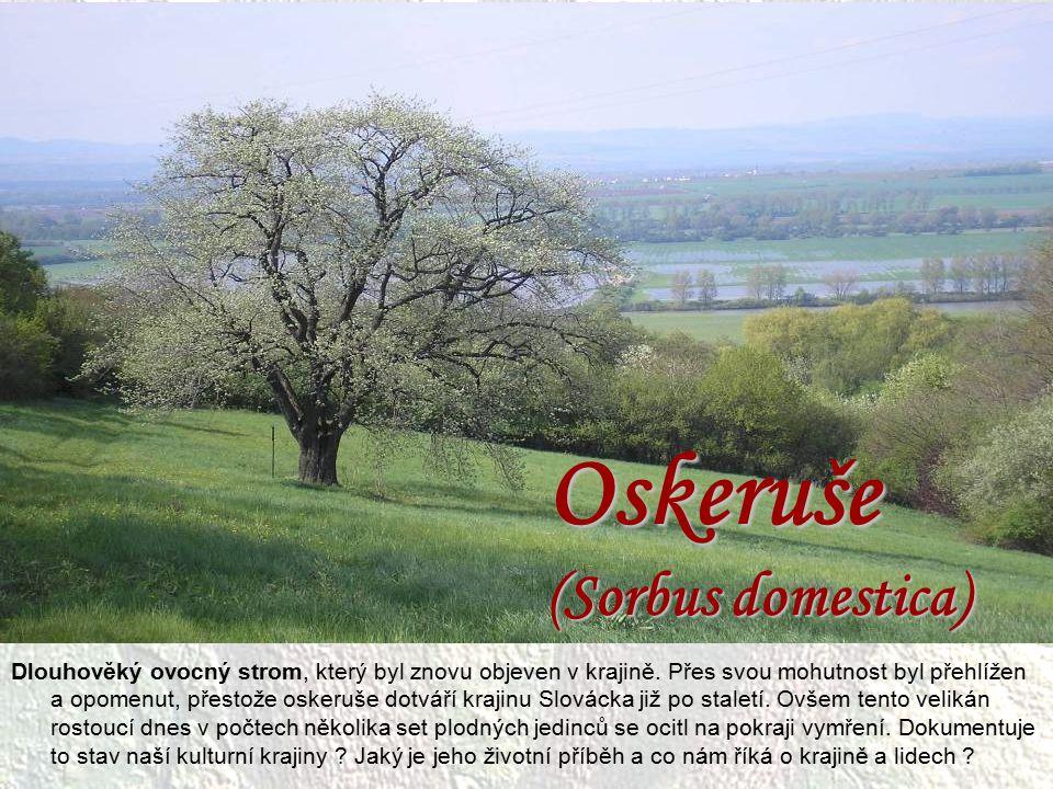 Oskeruše (Sorbus domestica) Dlouhověký ovocný strom, který byl znovu objeven v krajině. Přes svou mohutnost byl přehlížen a opomenut, přestože oskeruš