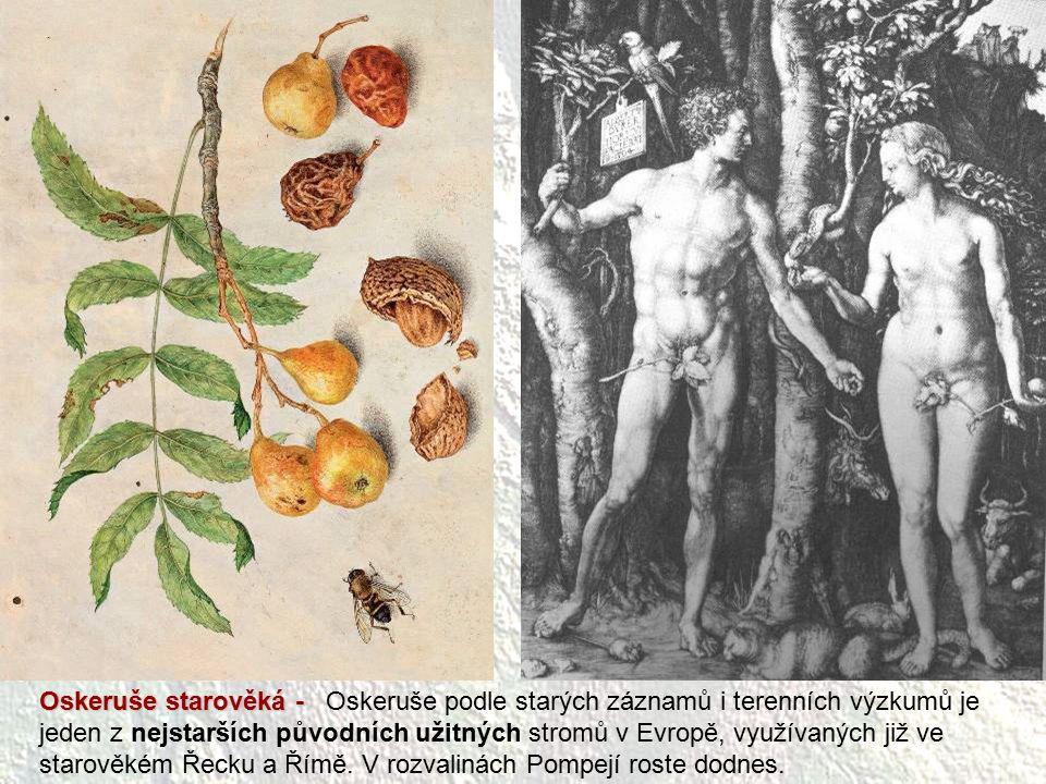 Oskeruše starověká - Oskeruše starověká - Oskeruše podle starých záznamů i terenních výzkumů je jeden z nejstarších původních užitných stromů v Evropě