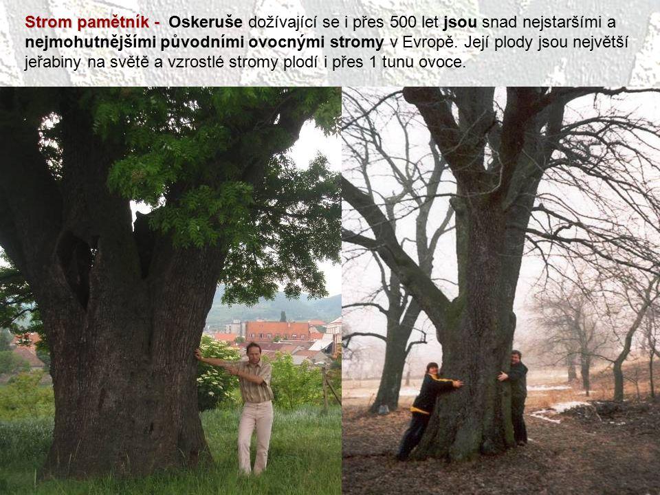 Strom pamětník - Strom pamětník - Oskeruše dožívající se i přes 500 let jsou snad nejstaršími a nejmohutnějšími původními ovocnými stromy v Evropě. Je