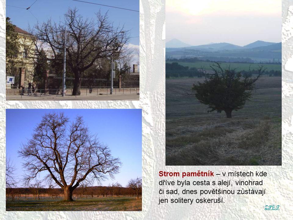 ZP Ě T Strom pamětník – v místech kde dříve byla cesta s alejí, vinohrad či sad, dnes povětšinou zůstávají jen solitery oskeruší.