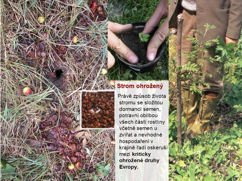 Strom ohrožený Právě způsob života stromu se složitou dormancí semen, potravní oblibou všech částí rostliny včetně semen u zvířat a nevhodné hospodaře