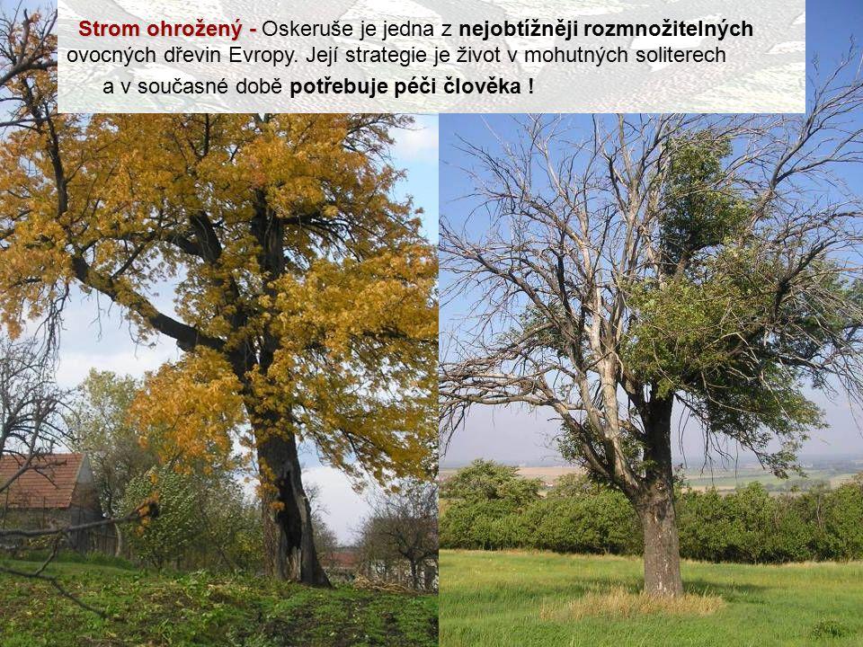 Strom ohrožený - Strom ohrožený - Oskeruše je jedna z nejobtížněji rozmnožitelných ovocných dřevin Evropy. Její strategie je život v mohutných soliter