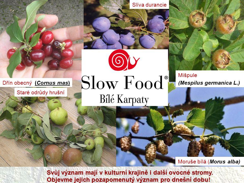 Dřín obecný (Cornus mas) Slíva durancie Mišpule (Mespilus germanica L.) Moruše bílá (Morus alba) Staré odrůdy hrušní Svůj význam mají v kulturní kraji