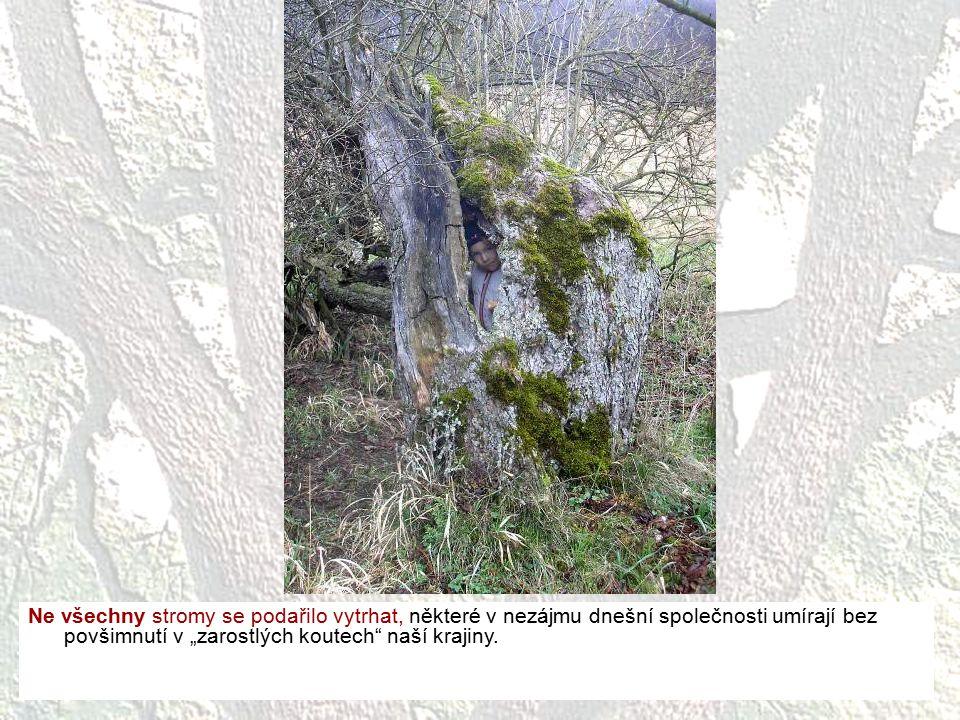 """Ne všechny stromy se podařilo vytrhat, některé v nezájmu dnešní společnosti umírají bez povšimnutí v """"zarostlých koutech"""" naší krajiny."""