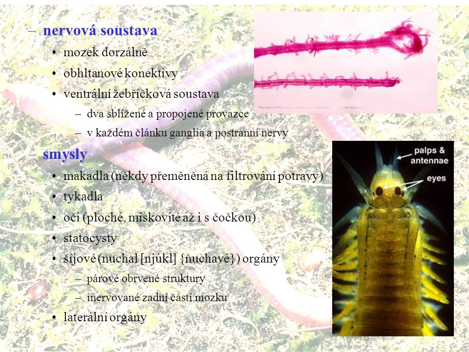 –vylučovací soustava protonefridie –u larev –kombinace s celomostomem nebo metanefrídiemi se společným vývodem nefridie –pár nálevek v každém článku –splývá se segmentálním orgánem –otevřené do celomu –reabsorbční kanálek –vyústění (nefridioporus) na následujícím článku