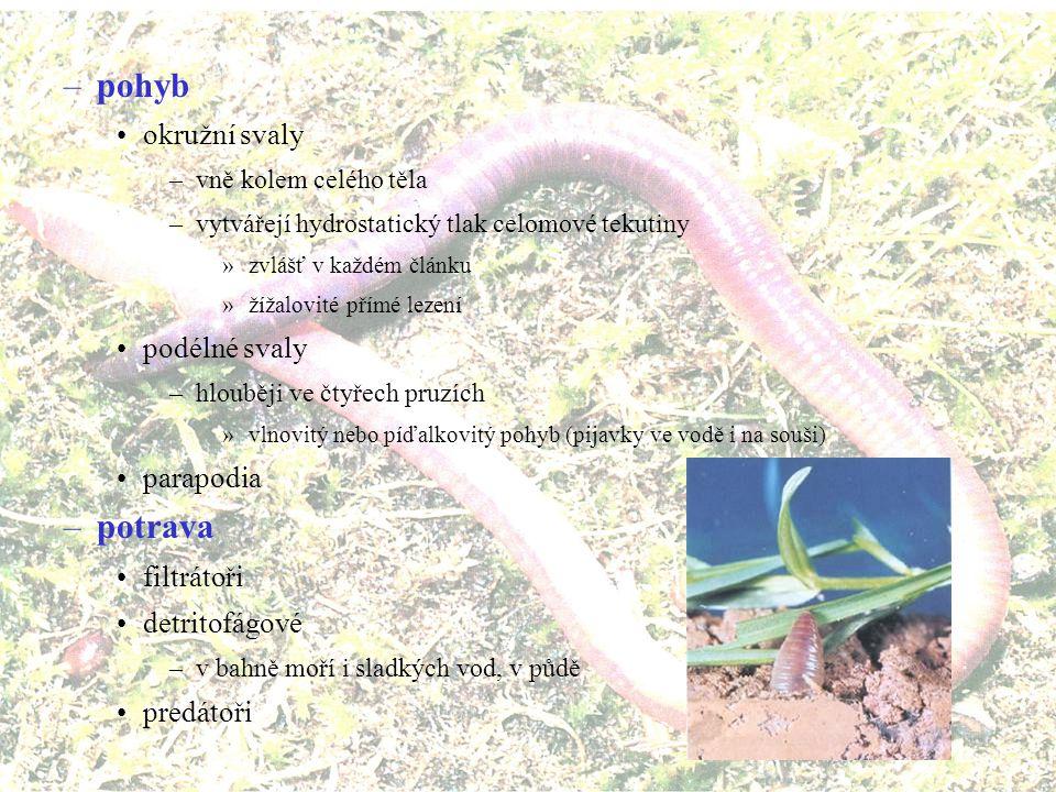 –nervová soustava mozek dorzálně obhltanové konektivy ventrální žebříčková soustava –dva sblížené a propojené provazce –v každém článku ganglia a postranní nervy –smysly makadla (někdy přeměněná na filtrování potravy) tykadla oči (ploché, miskovité až i s čočkou) statocysty šíjové (nuchal [njúkl] {ňuchavé}) orgány –párové obrvené struktury –inervované zadní částí mozku laterální orgány
