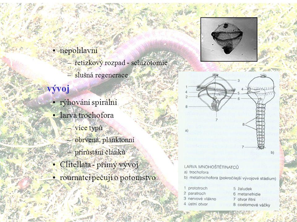 –rozmnožování pohlavní –gonochoristé s nepřímým vývojem (kromě žížaly) –z oplozeného vajíčka si líhne plovoucí larva trochofora –pokročilejším stádiem je metatrochofora – nárůst tělních článků –oplození vnější - zvýšení pravděpodobnosti oplození přesným načasováním vypouštění gamet (délka dne, fáze měsíce, příliv, teplota vody) –epitokie - morfologická změna (části) těla na rozmnožovacího jedince –i vnitřní - spermatofóry, pseudokopulace, kopulace »až 100 penisů »hypodermální impregnace –Clitellata a jednotlivé čeledi polychétů jsou hermafrodité